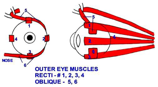 Outer Eye Muscles, Oblique, Recti